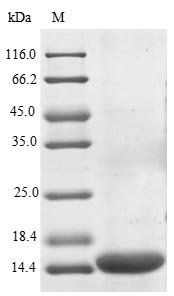 SDS-PAGE- Recombinant protein Human PDCD1LG2