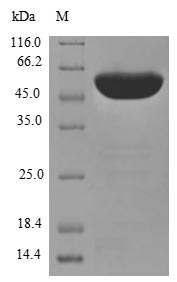 SDS-PAGE- Recombinant protein Human PDIA3