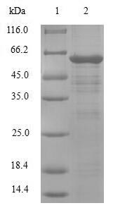SDS-PAGE- Recombinant protein Human PDLIM1