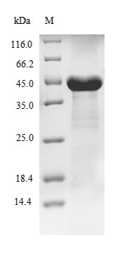 SDS-PAGE- Recombinant protein Human PFAS