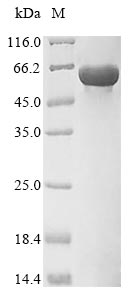 SDS-PAGE- Recombinant protein Mouse Pkm