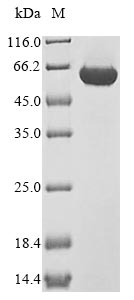 SDS-PAGE- Recombinant protein Rat Pkm