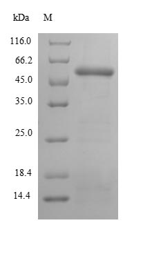 SDS-PAGE- Recombinant protein Human PNMA2