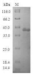SDS-PAGE- Recombinant protein Human POP7