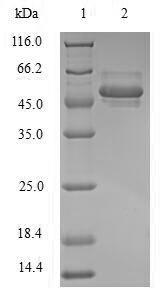 SDS-PAGE - Recombinant Human POU domain, class 5, transcription factor 1