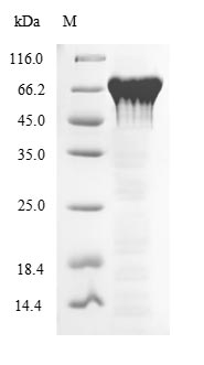 SDS-PAGE- Recombinant protein Mouse Pparg
