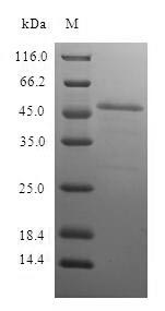 SDS-PAGE- Recombinant protein Human PSMB10