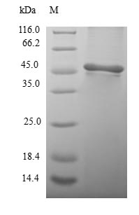 SDS-PAGE- Recombinant protein Human PSMB3