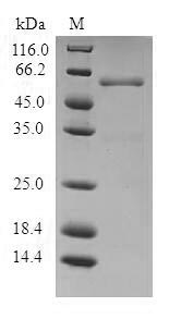 SDS-PAGE- Recombinant protein Human PSME1