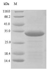 SDS-PAGE- Recombinant protein Human PTPRZ1