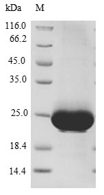 SDS-PAGE- Recombinant protein Human RAB10