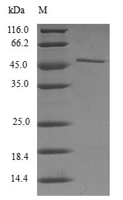 SDS-PAGE- Recombinant protein Human RAC3