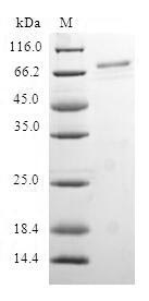 SDS-PAGE- Recombinant protein Human RAE1