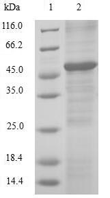 SDS-PAGE- Recombinant protein Human RAN