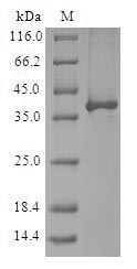 SDS-PAGE- Recombinant protein Human RBX1