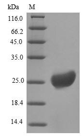 SDS-PAGE- Recombinant protein Bovine RETN