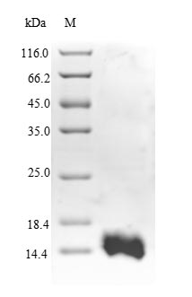 SDS-PAGE- Recombinant protein Human RFC1