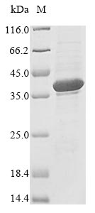 SDS-PAGE- Recombinant protein Human RNASEH1