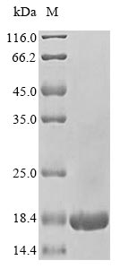 SDS-PAGE- Recombinant protein Human RPLP2