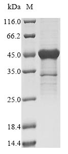 SDS-PAGE- Recombinant protein Human RPS3