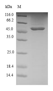 SDS-PAGE- Recombinant protein Human RRAS2