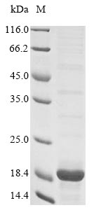 SDS-PAGE- Recombinant protein Rat S100a4