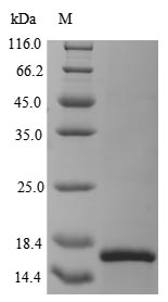 SDS-PAGE- Recombinant protein Horse SAA1
