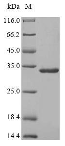 SDS-PAGE- Recombinant protein Rabbit SAA1