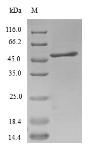 SDS-PAGE- Recombinant protein Human SCAND1