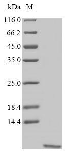 SDS-PAGE - Recombinant Artemisia vulgaris Non-specific lipid-transfer protein
