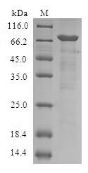SDS-PAGE- Recombinant protein Human SERPINB9