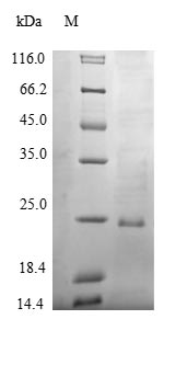 SDS-PAGE- Recombinant protein Bovine SFTPB