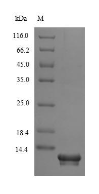 SDS-PAGE- Recombinant protein Human SLURP1