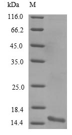 SDS-PAGE- Recombinant protein Mouse Snca