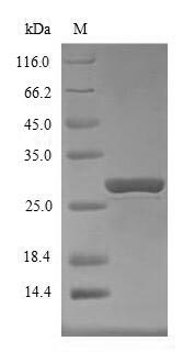 SDS-PAGE- Recombinant protein Mouse Socs1