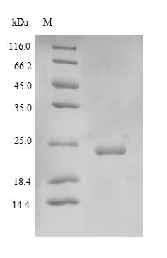 SDS-PAGE- Recombinant protein Human SOD3