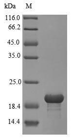 SDS-PAGE- Recombinant protein Rat Sort1