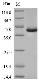 SDS-PAGE- Recombinant protein Human SPI1