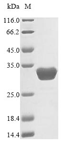 SDS-PAGE- Recombinant protein Human SPR