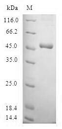 SDS-PAGE- Recombinant protein Human SSX4
