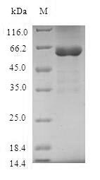 SDS-PAGE- Recombinant protein Human STX11