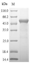 SDS-PAGE- Recombinant protein Mouse Sult1a1