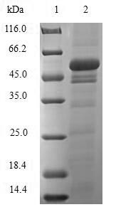 SDS-PAGE- Recombinant protein Rat Sult1a1