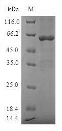 SDS-PAGE - Recombinant human Sulfotransferase 1A3/1A4