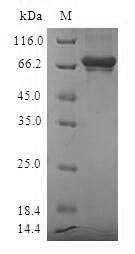SDS-PAGE- Recombinant protein Human SULT2B1
