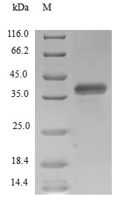 SDS-PAGE- Recombinant protein Human SUPT4H1