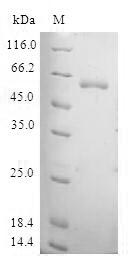 SDS-PAGE- Recombinant protein Human TAF5L
