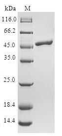 SDS-PAGE- Recombinant protein Human TCAP