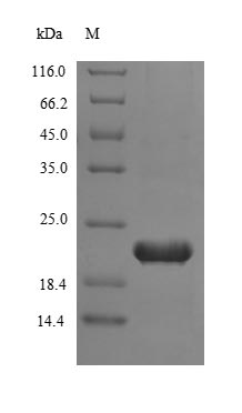 SDS-PAGE- Recombinant protein Human TERT