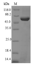 SDS-PAGE- Recombinant protein Mouse Tert